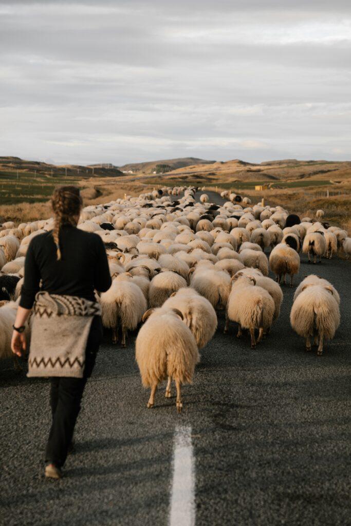 redyk owiec